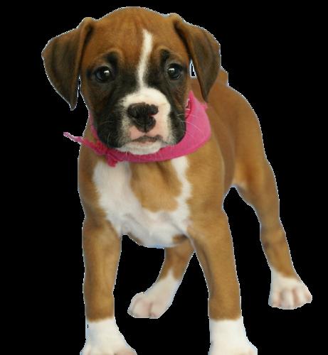 PNG Köpek, Dog PNG, Dog PNG images, Dog PNG Pictures, Hund PNG Bilder - Boxer Hund PNG