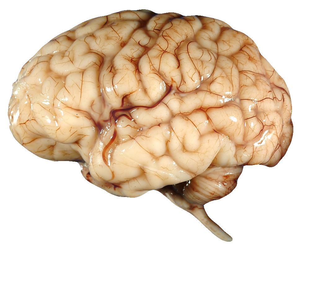 Brain HD PNG - 96371