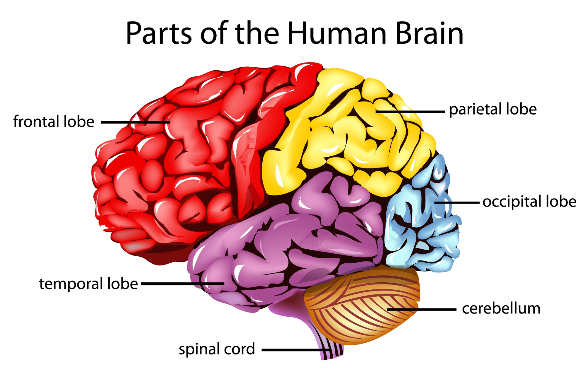 parts-of-the-brain - Brain HD PNG