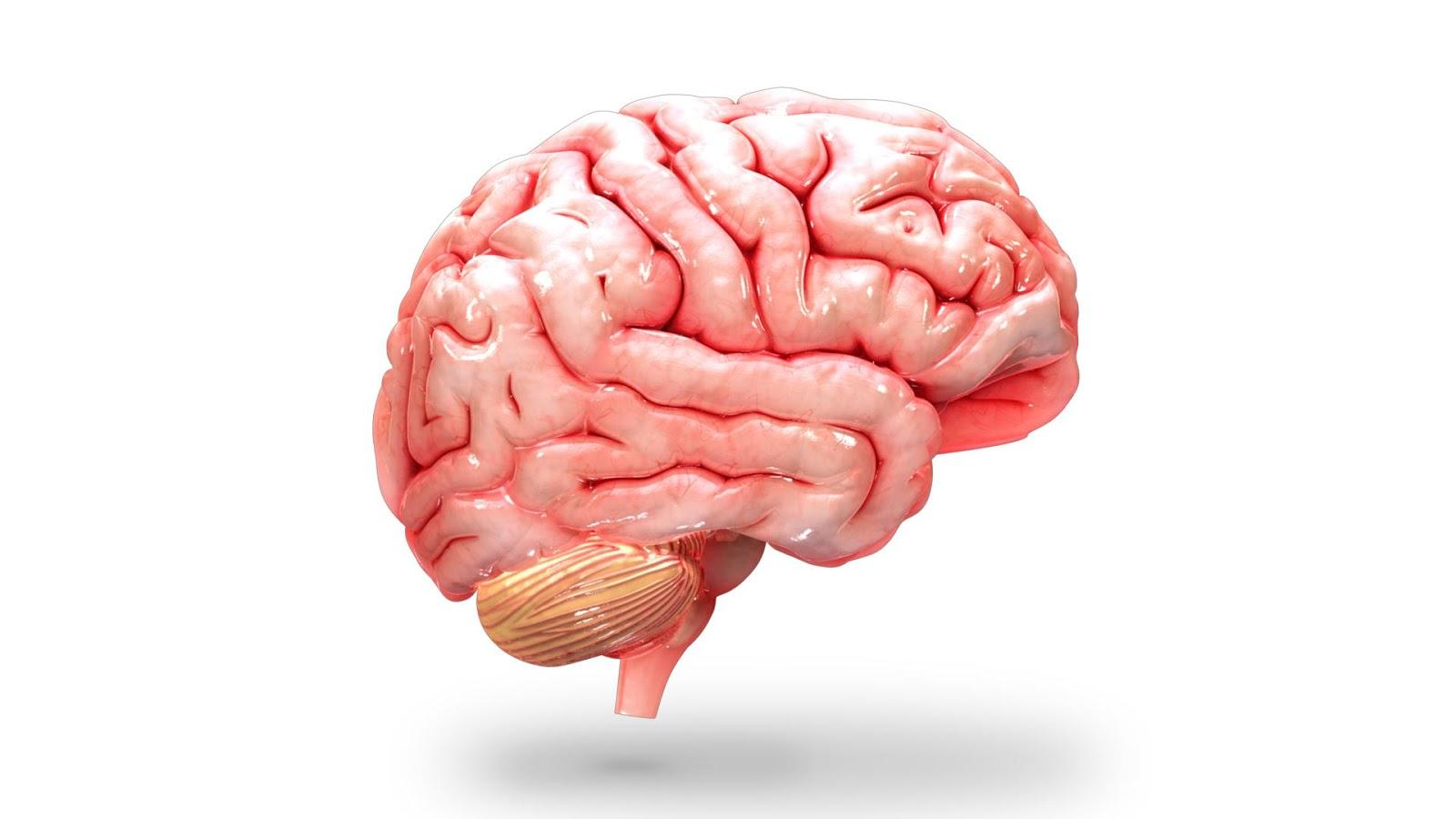 Brain HD PNG - 96377