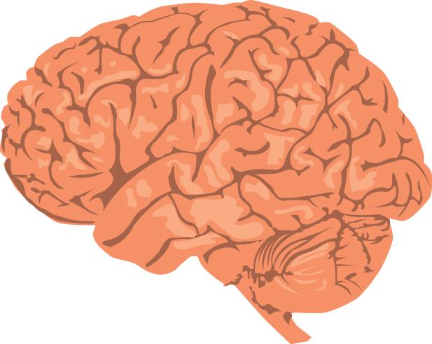 brain 3 - Brain PNG