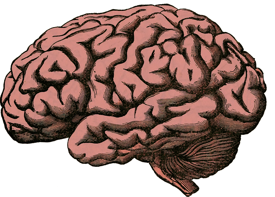 Brain, Anatomy, Human, Science, Health, Medical, Organ - Brain PNG