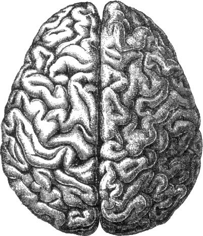 File:Human brain.png - Brain PNG