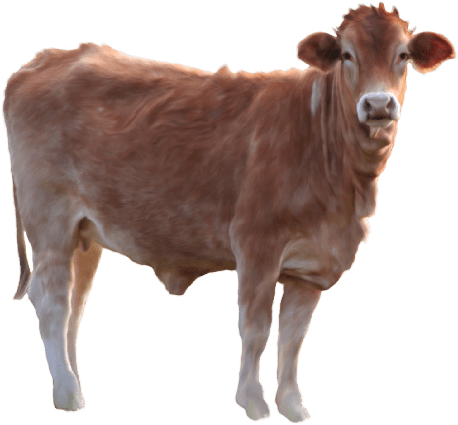 This high quality free PNG image without any background is about cow,  twerp, bull