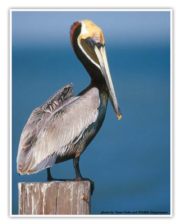 Brown Pelican PNG-PlusPNG.com-578 - Brown Pelican PNG