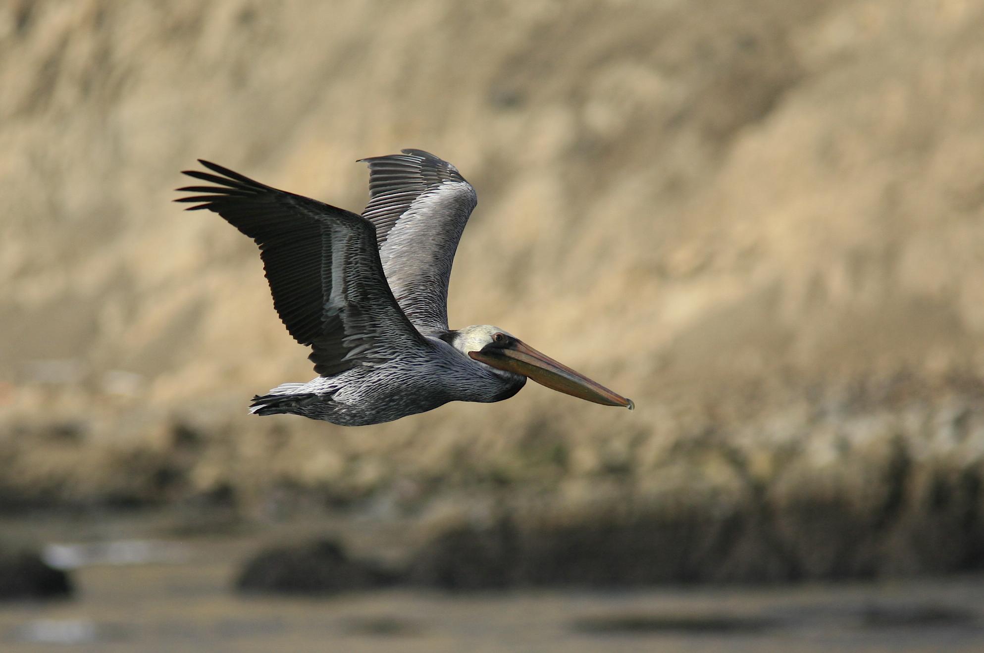 A Brown Pelican soars by Pepe Alvarez PlusPng.com  - Brown Pelican PNG