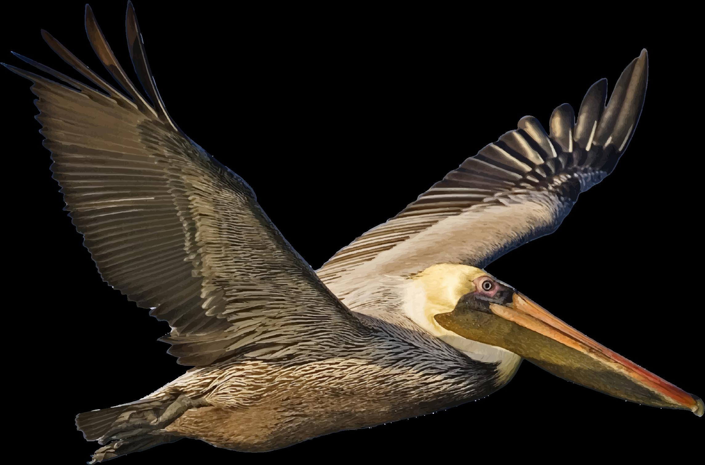 BIG IMAGE (PNG) - Brown Pelican PNG