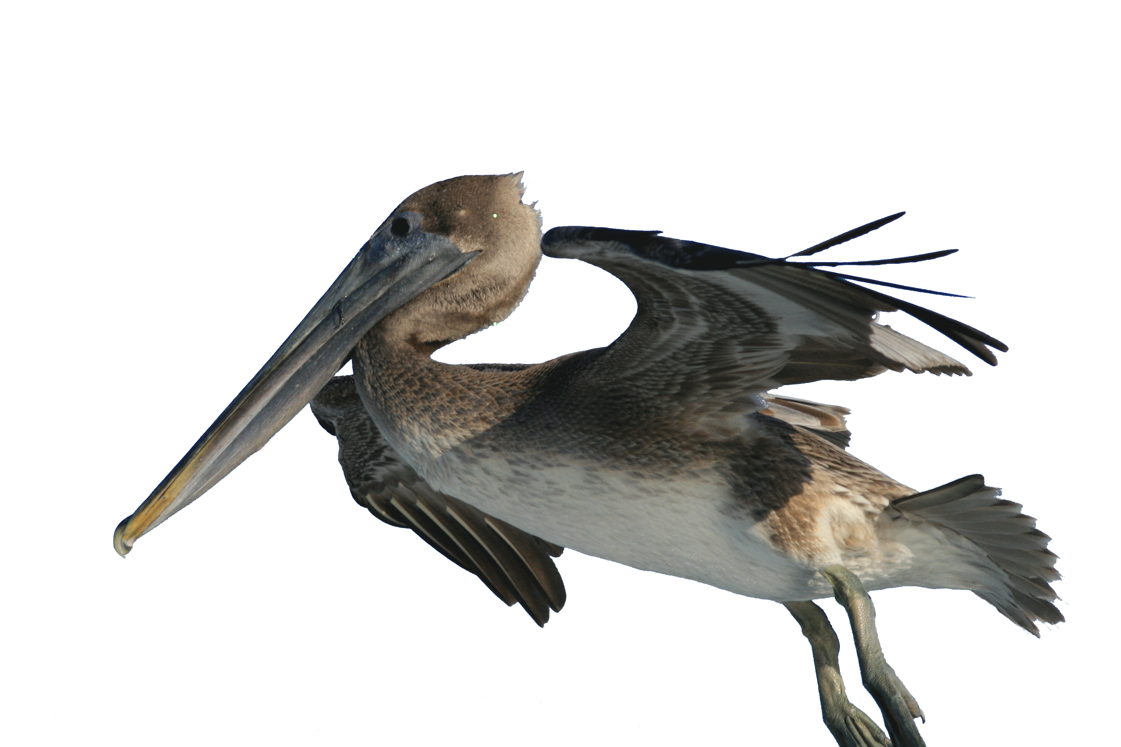 File:Pelecanus occidentalis and fishing hook 2.png - Brown Pelican PNG