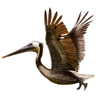 Huge item brownpelican 01 - Brown Pelican PNG