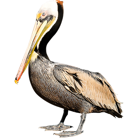 Parent Category : Animals - Brown Pelican PNG
