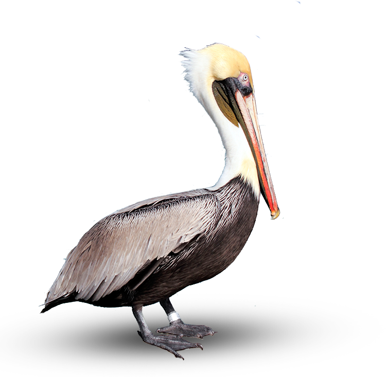 pelican - Brown Pelican PNG