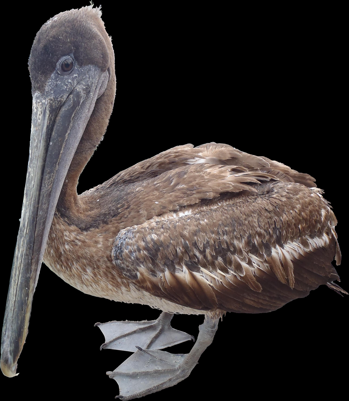 Pelican PNG Texture - Brown Pelican PNG