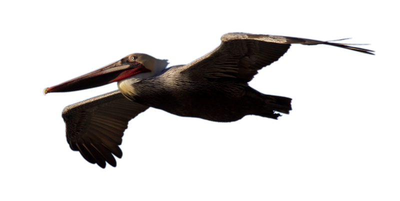 STOCK Brown Pelican Flying (with Alpha Layer) by netzephyr PlusPng.com  - Brown Pelican PNG