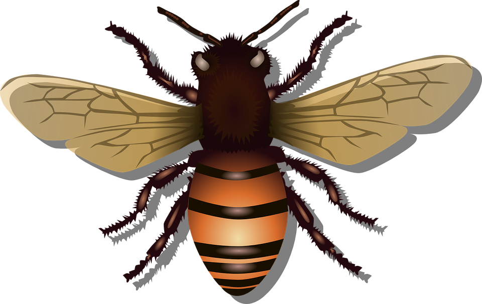 Honeybee, Bee, Insect, Fly, Honey, Nature, Beehive, Bug - Bug HD PNG