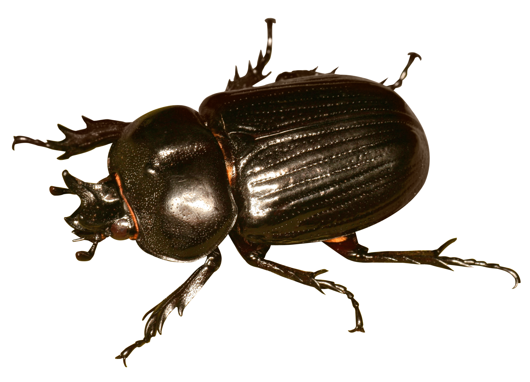 Beetle Bug PNG Transparent Image - Bug PNG