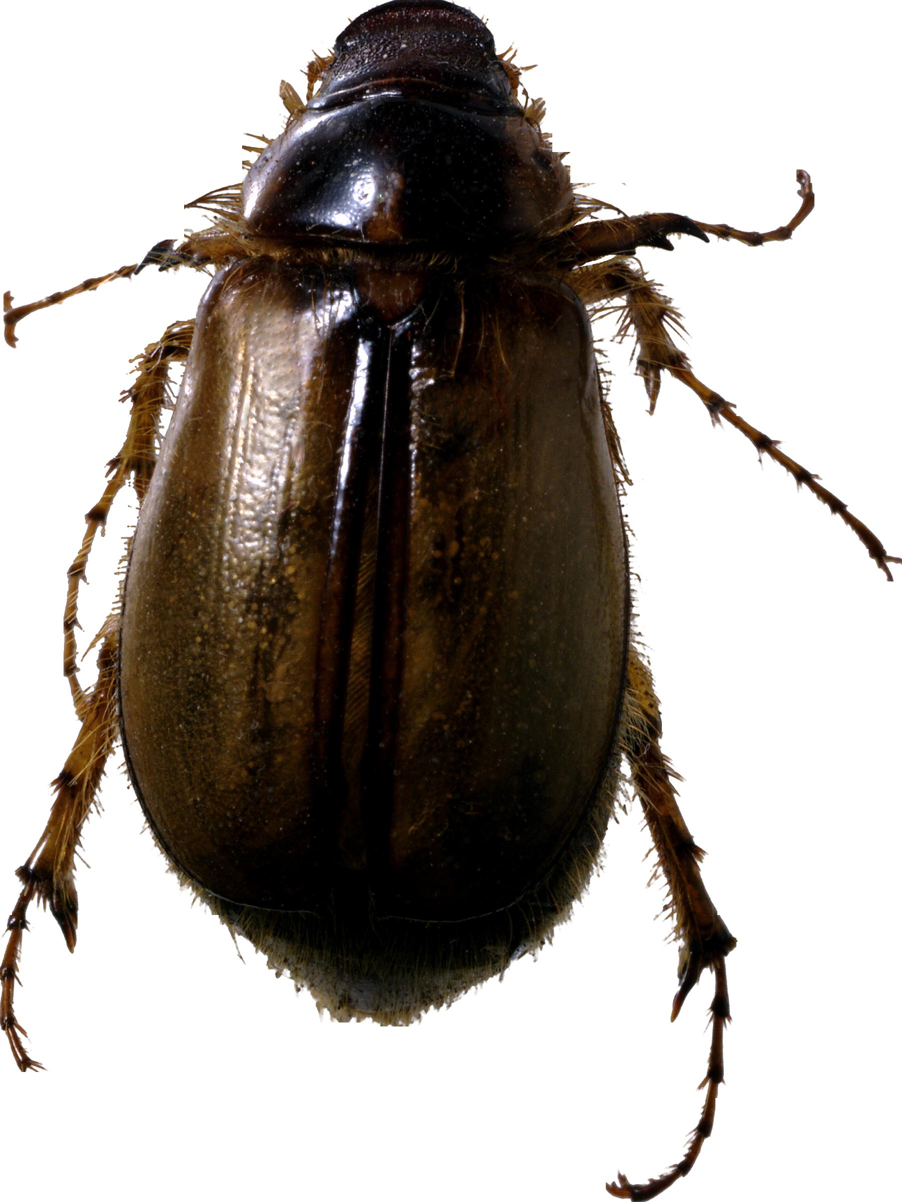 roach bug PNG image - Bug PNG