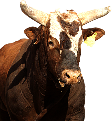 American bucking bull of PBR.love him, he has such attitude and finally JB  Mauney was able to ride him! The only bull rider to do so! - Bull Riding PNG HD