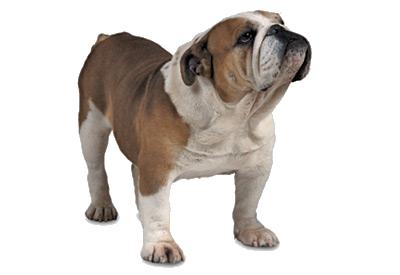 Bulldog PNG