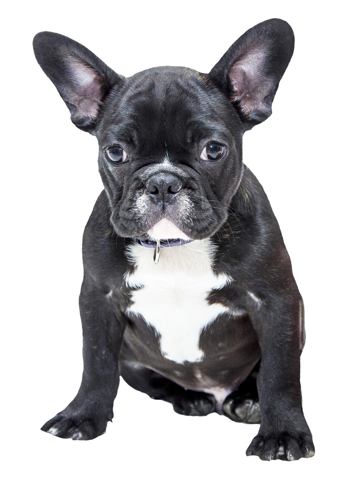 french bulldog png