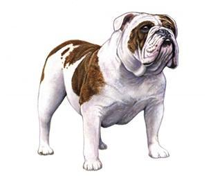 Bulldog PNG - 14863