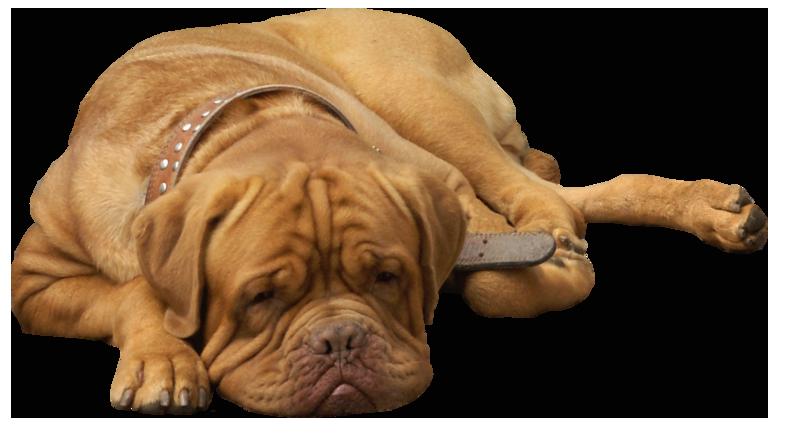 Bulldog PNG - 14868