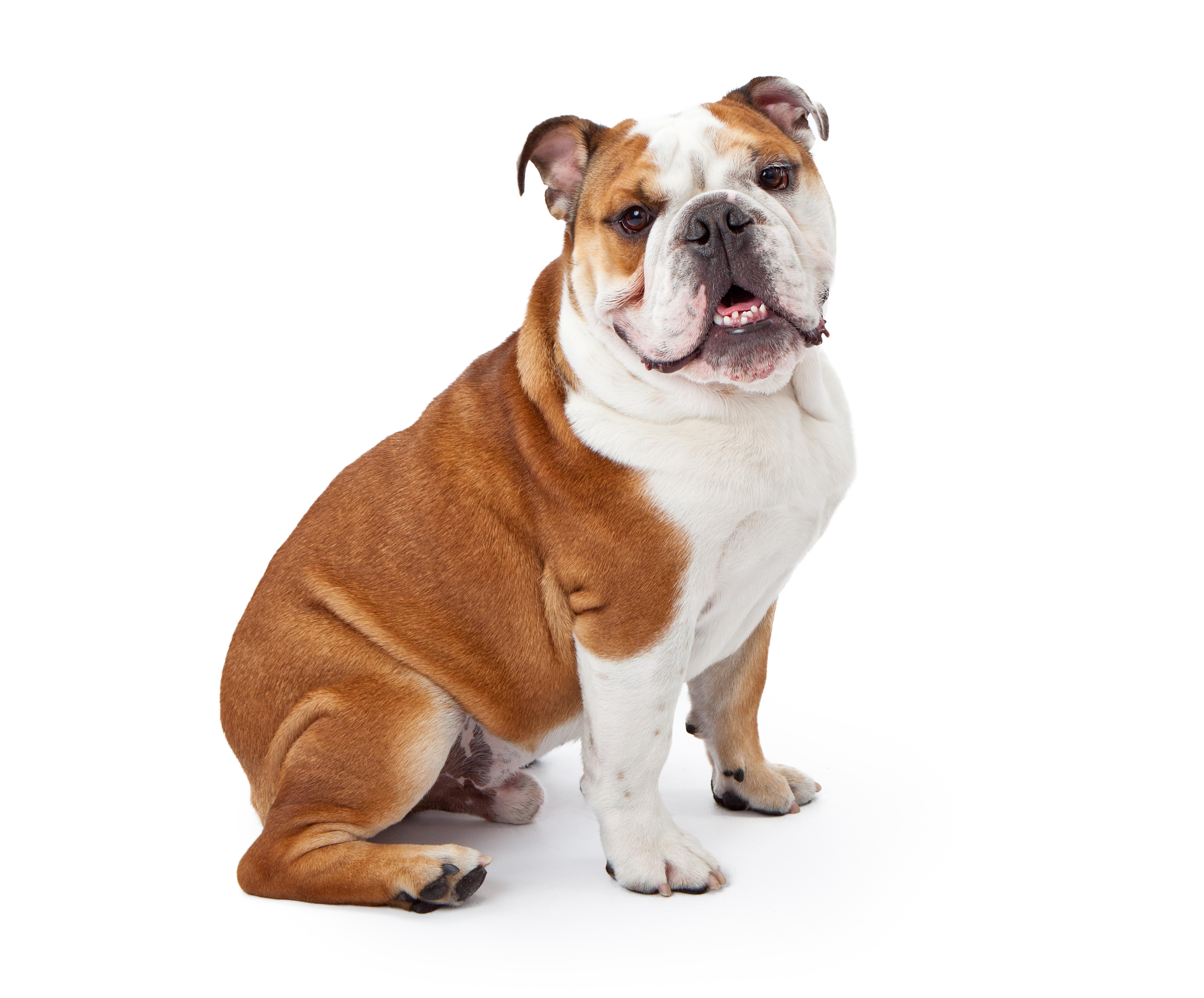 Bulldog PNG - 14861