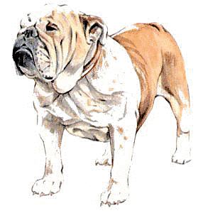 Bulldog PNG - 14867