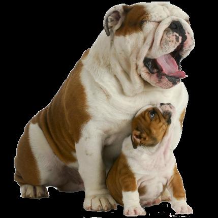 Bulldog PNG - 14862
