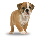 . PlusPng.com different specific PlusPng.com  - Bulldog PNG