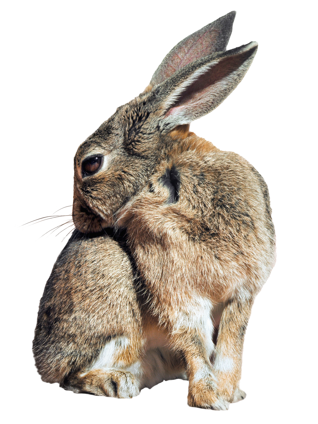 Bunny PNG - 27620