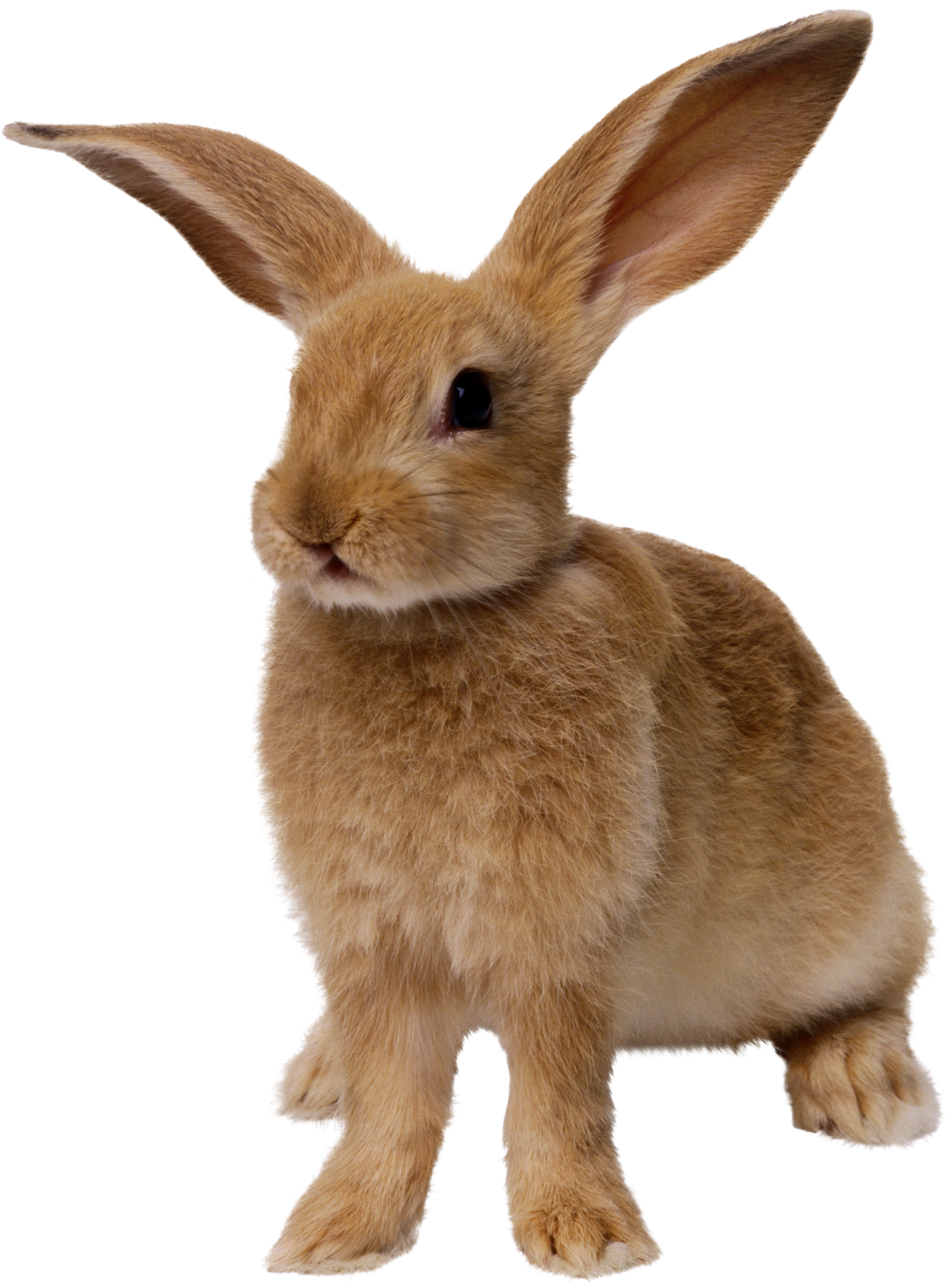 Bunny PNG - 27622