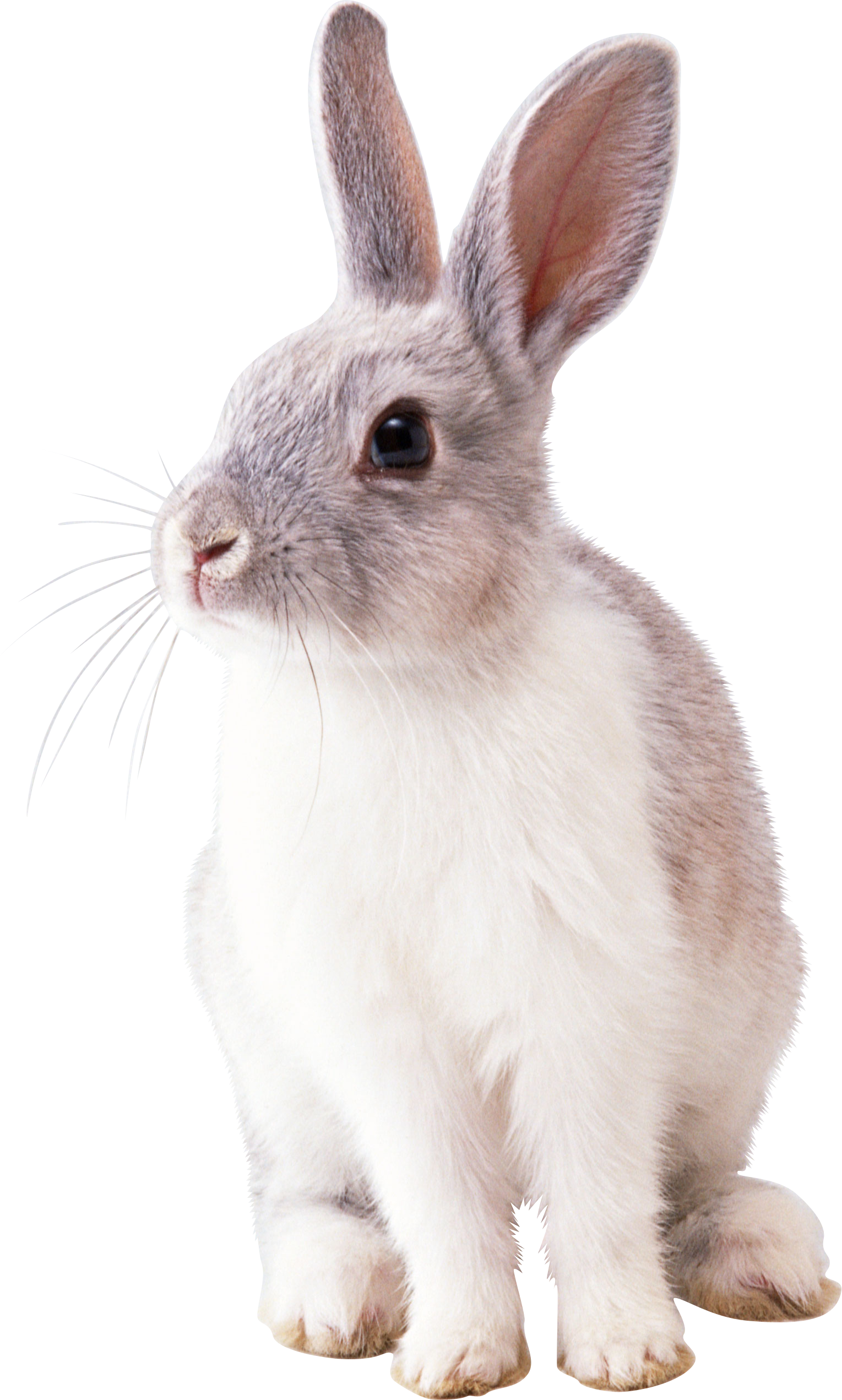 Bunny PNG - 27614