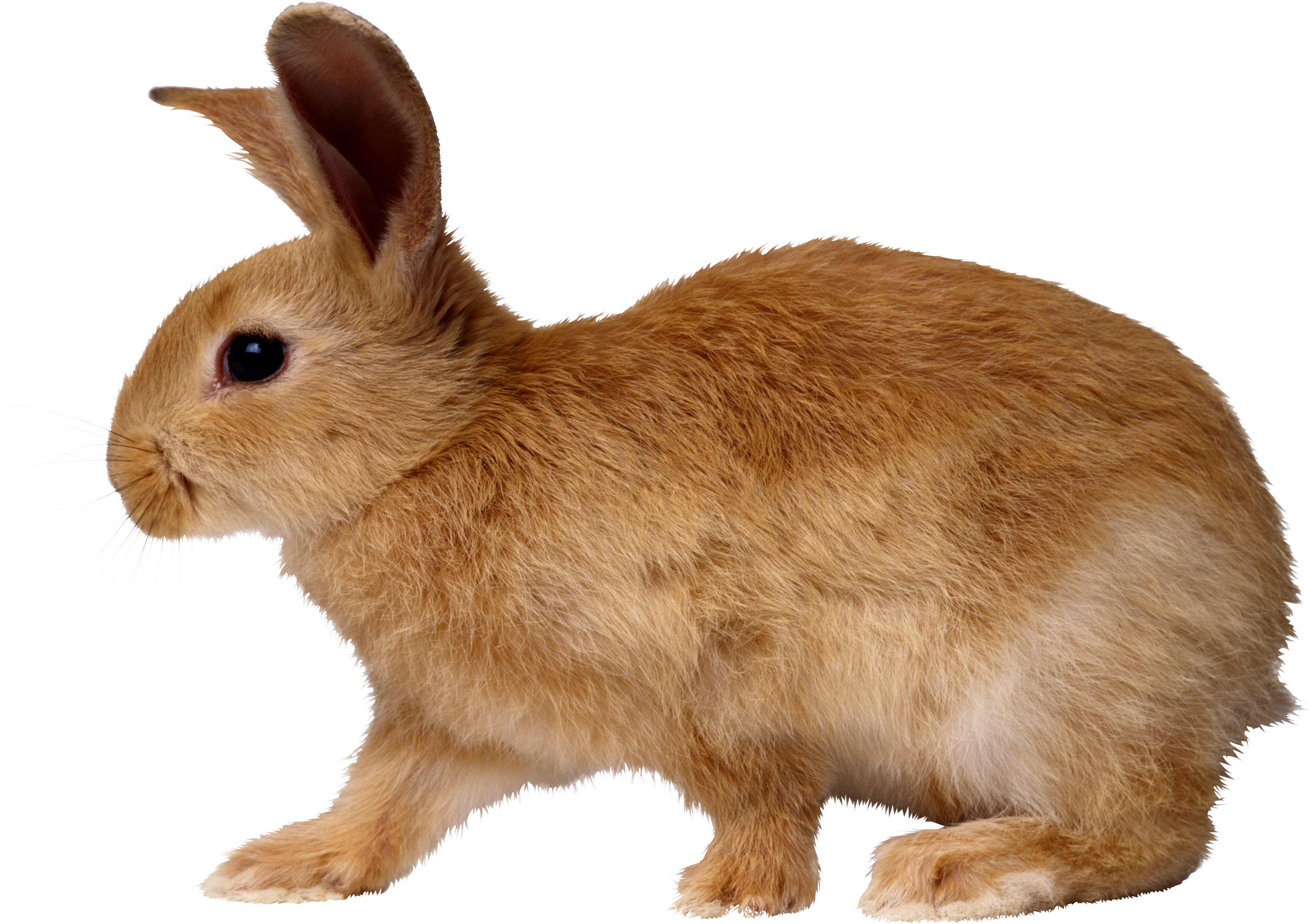 Bunny PNG - 27616