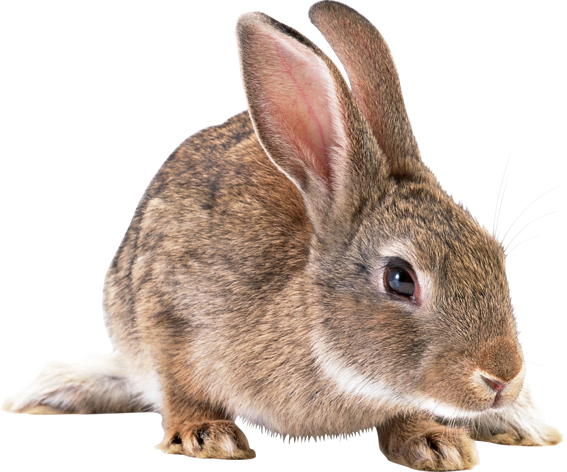 Bunny PNG - 27619