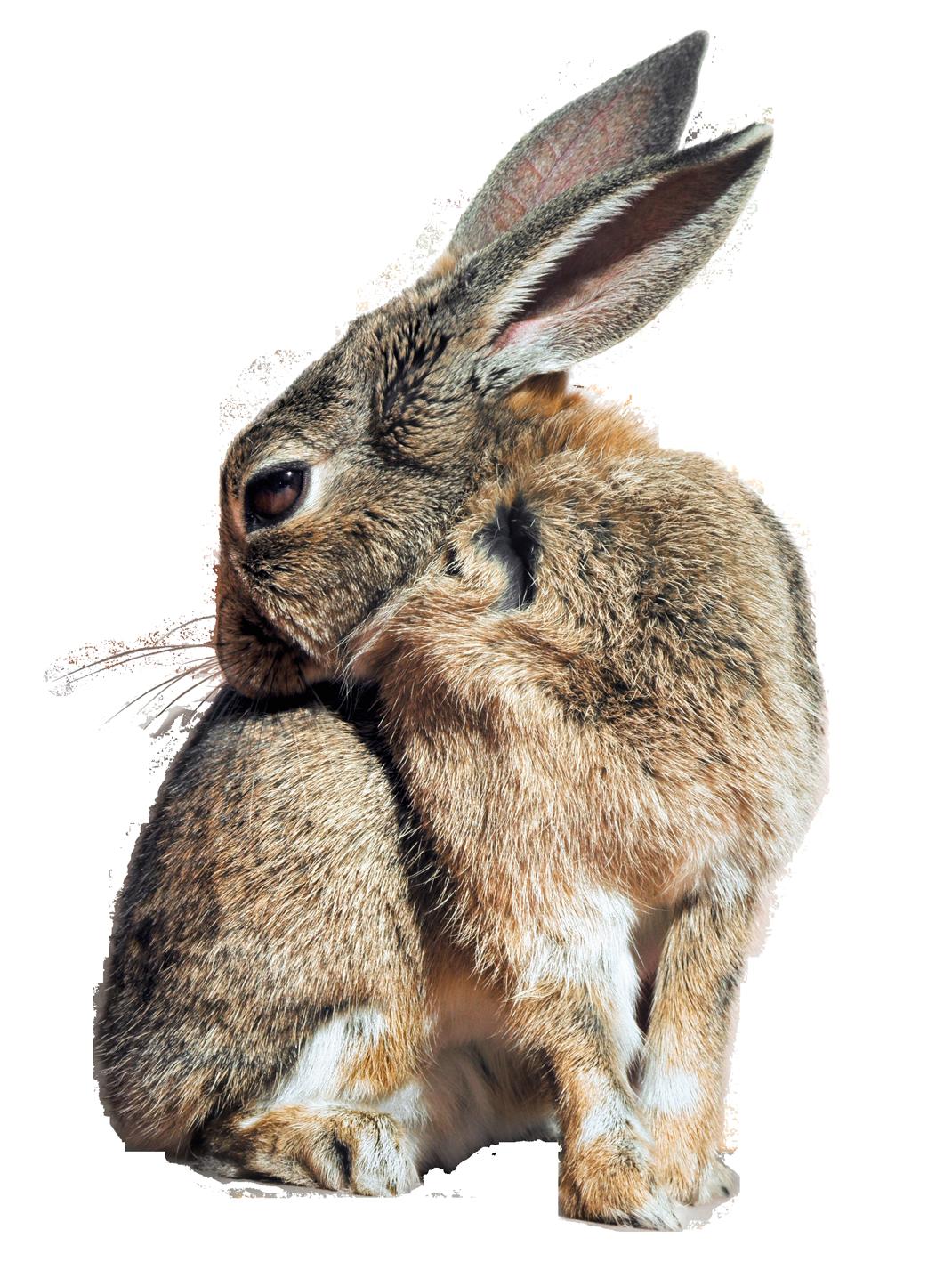 Bunny Rabbit PNG Transparent Image - Rabbit PNG