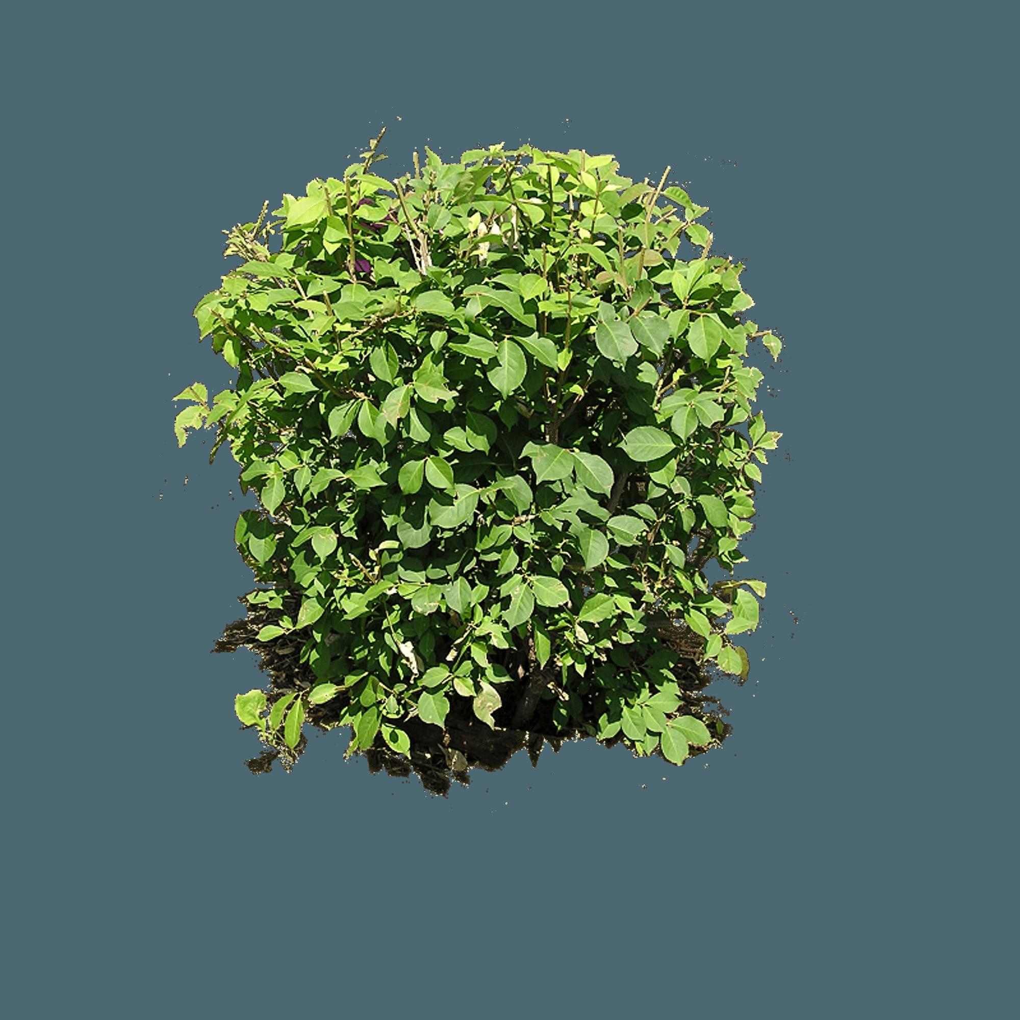 Shrub Bushes PNG - 1544