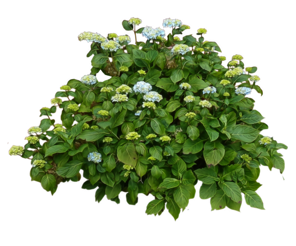 Hydrangea Bush PlusPng.com by AledJonesStockNArt - Bush PNG
