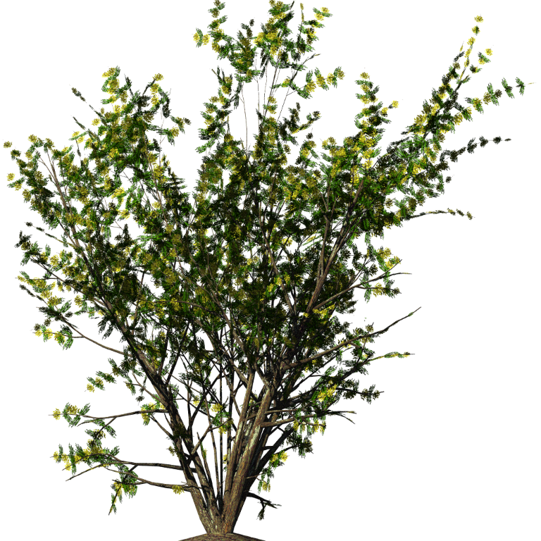 Shrubs Png Christmas Flowers, Acacia Bush image #42048 - Bush PNG