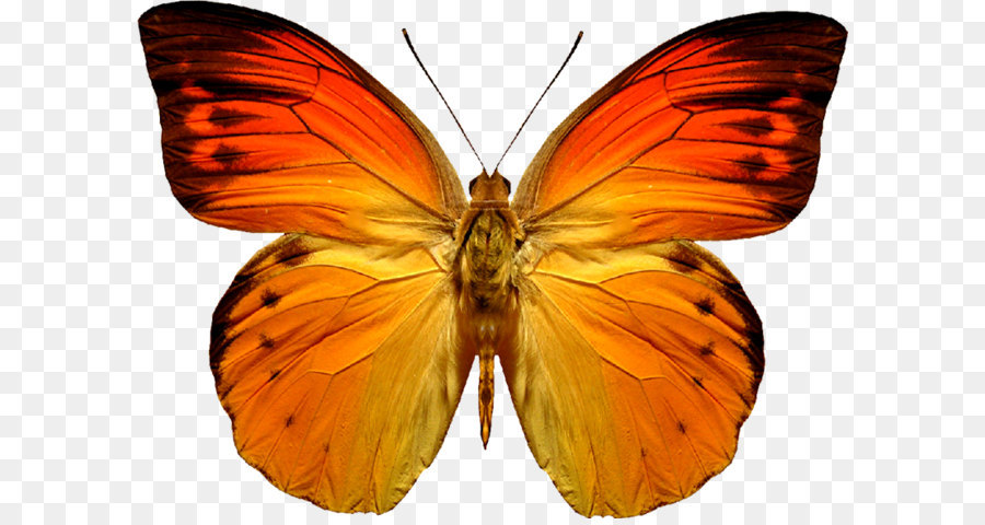 Butterflies PNG HD Free Download - 127368