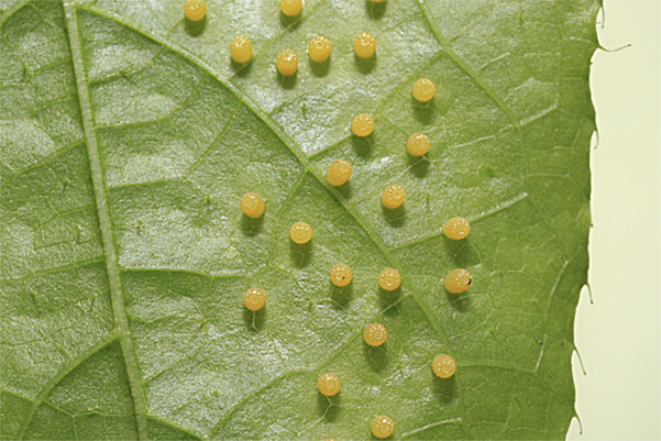 A female butterfly uses sight to locate potential host plants, and upon  landing, it tastes the leaf with the receptors on her feet to ascertain she  has PlusPng.com  - Butterfly Eggs On A Leaf PNG