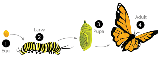 Butterfly Life Cycle - Butterfly Eggs On A Leaf PNG