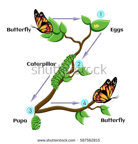 Life Cycle Butterfly Eggs Caterpillar Pupa Stock Photo (Photo, Vector,  Illustration) 587562815 - Shutterstock - Butterfly Eggs On A Leaf PNG