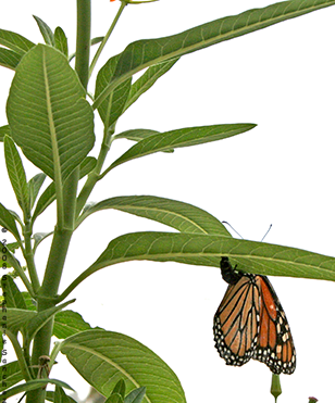 Monarch Butterfly abdomen tipped up laying an egg under the green leaf of  an Asclepias curassavica - Butterfly Eggs On A Leaf PNG