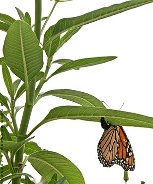 Monarch Butterfly abdomen tip