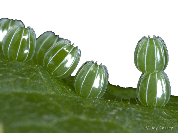 Owl Butterfly Eggs Angelwing Questionmark eggs - Butterfly Eggs On A Leaf PNG