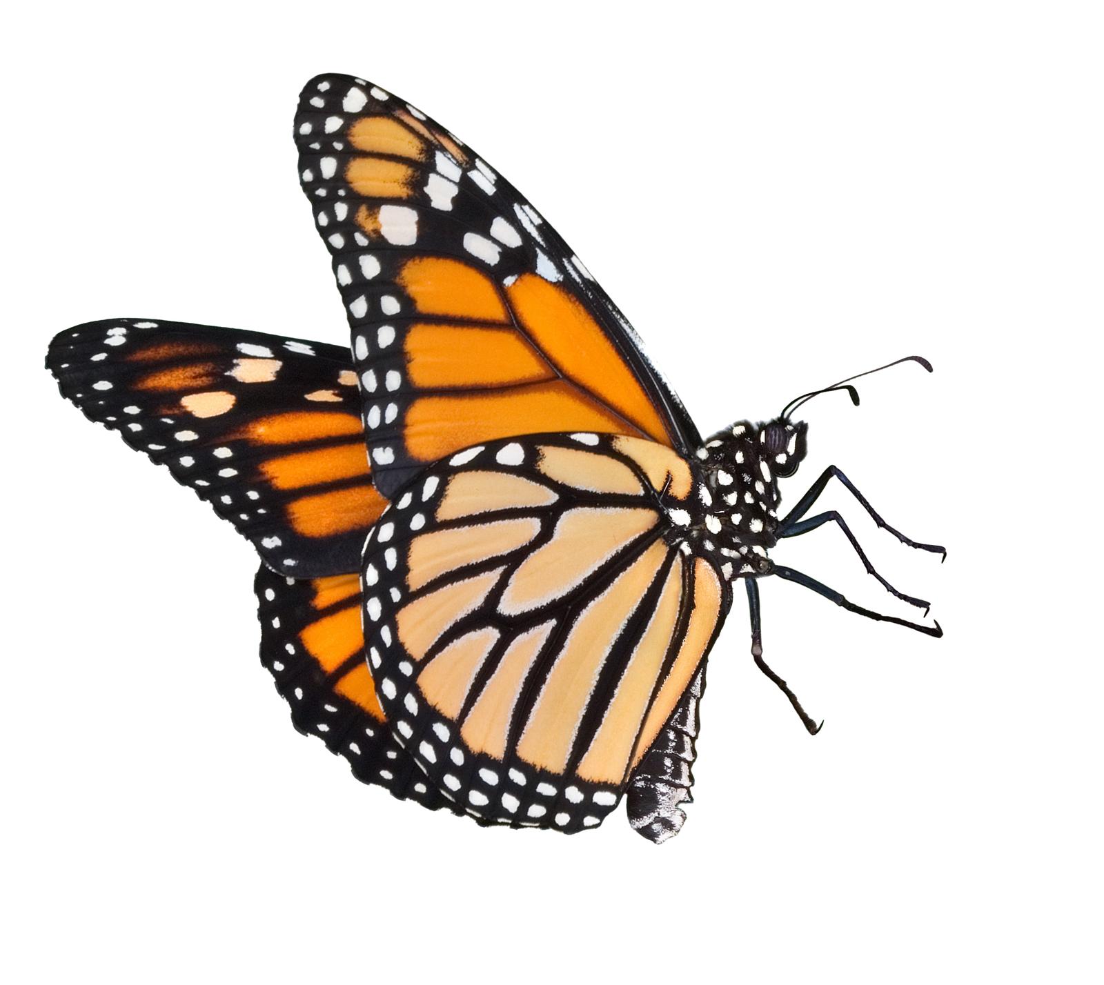 Butterflies Png image #26564 - Butterfly PNG