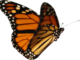 Butterfly,insect,monarch,wing,nature,lepidoptera,outdoors,metamorphosis, - Butterfly PNG
