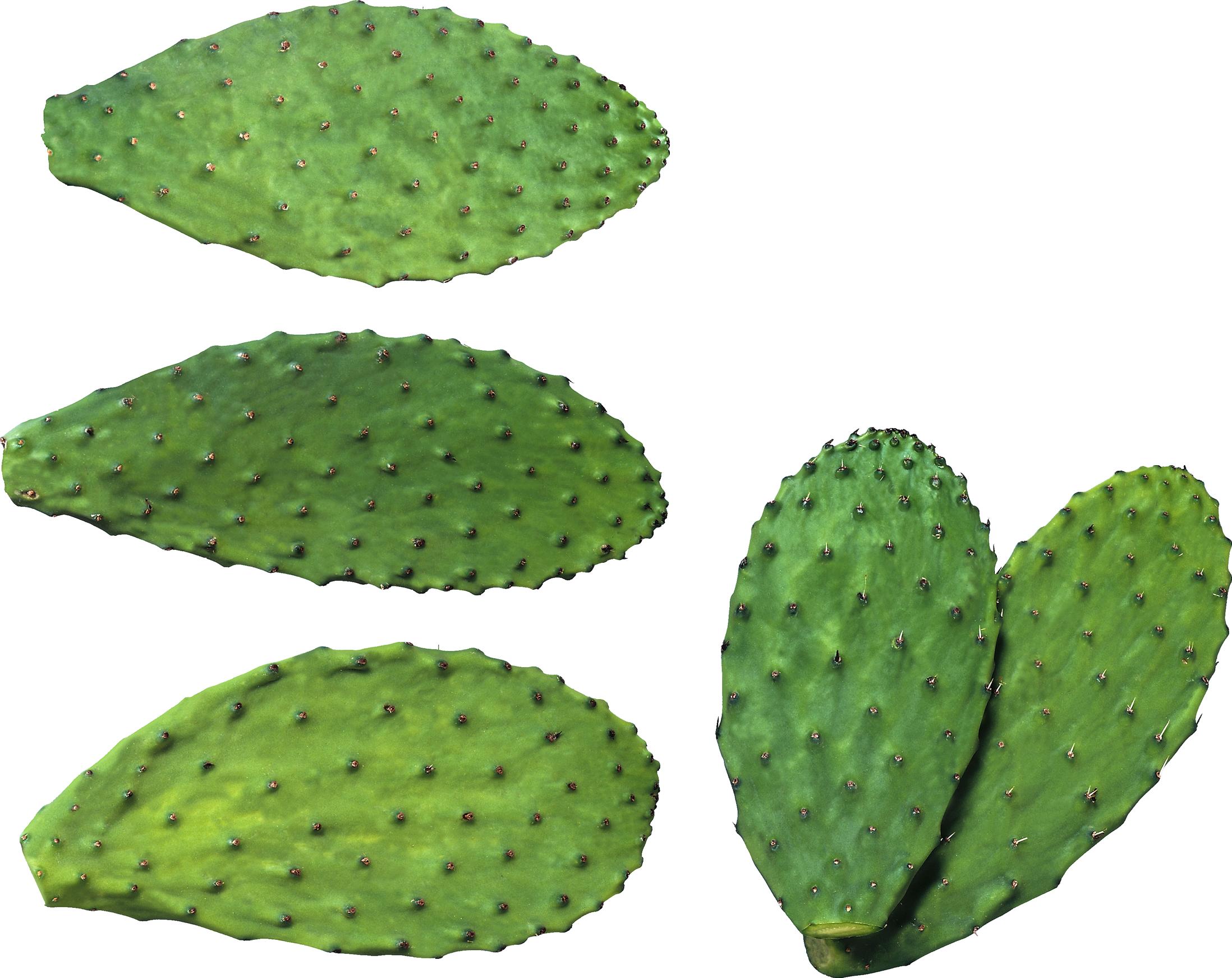 Cactus PNG image - Cactus PNG