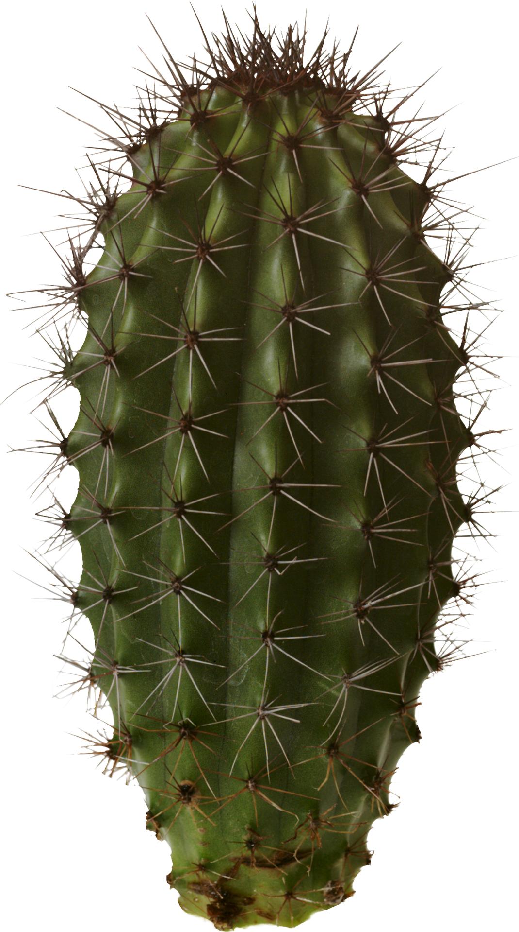 Cactus Png image #24259 - Cactus PNG