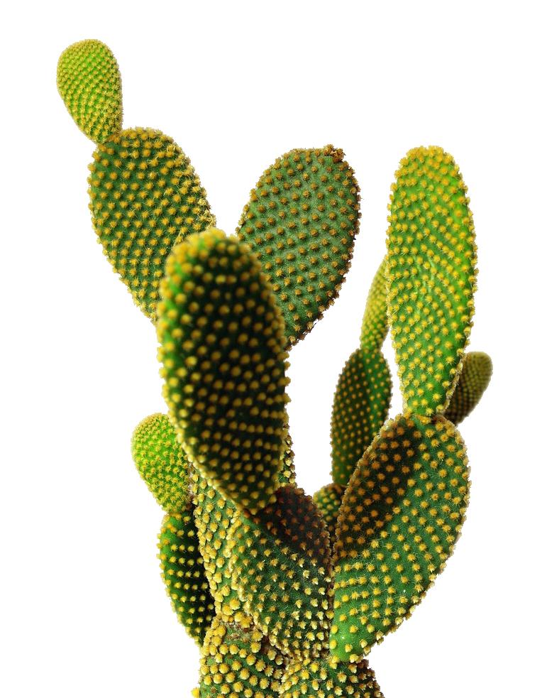 Cactus PNG Transparent Image - Cactus PNG